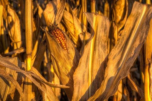 Mais, i økologiske tilstand, er et korn med høyt fiberinnhold