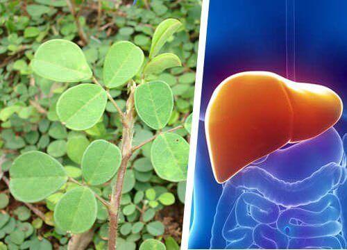 Denne planten gjenoppretter leveren