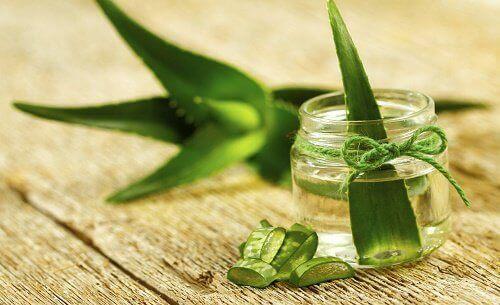 Lær deg å dyrke aloe vera hjemme - du vil elske det!