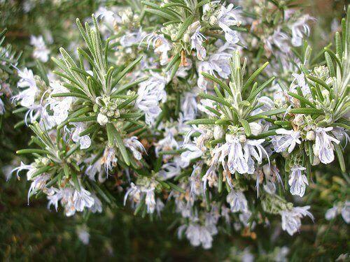 Rosemary-net-effekt