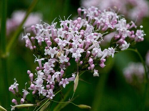 legevendel-rot-medisinsk-plante-mot-insomnia