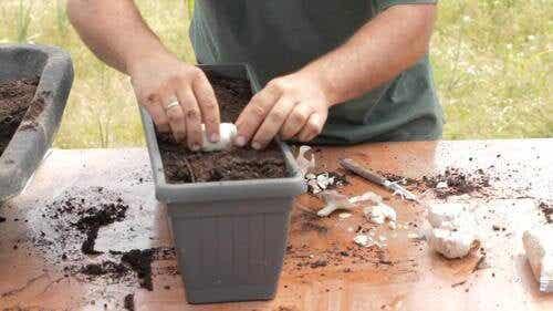 Hvordan dyrke hvitløk hjemme, tips og triks
