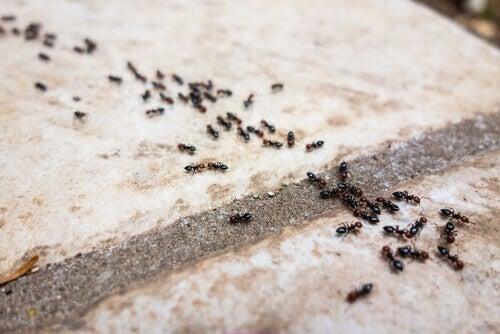 6 effektive og naturlige maurfjernere