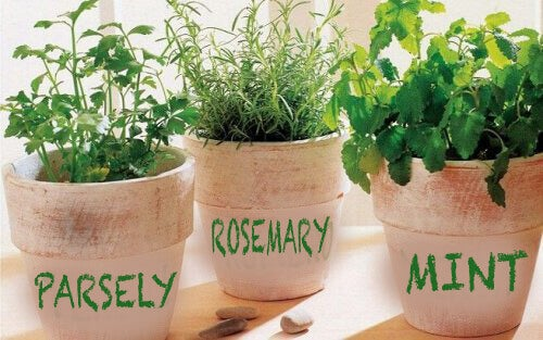 Slik dyrker du rosmarin, persille og mynte hjemme
