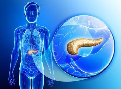 Bukspyttkjertelen er et viktig organ med mange oppgaver