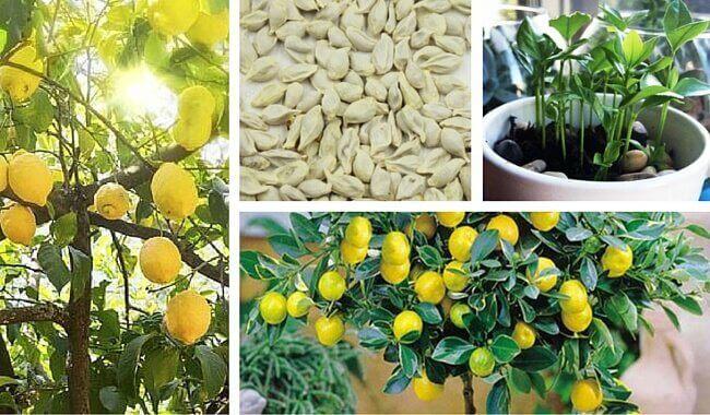 Hvordan få sitronfrø til å spire hjemme