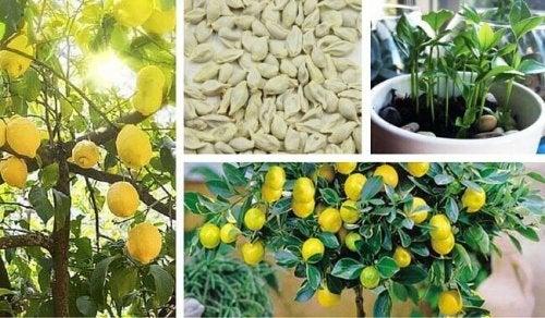 Lær hvordan du kan dyrke et sitrontre fra frø