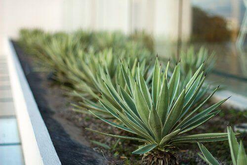 Aloe vera avgir oksygen