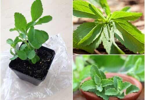 Lag ditt eget søtningsmiddel: Slik dyrker du stevia hjemme