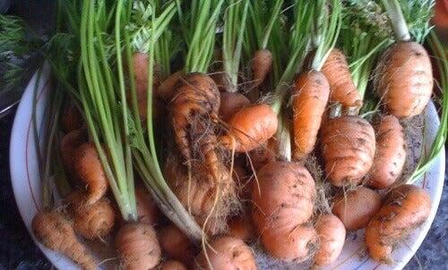 Lær å dyrke gulrøtter hjemme