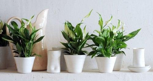 Fredsliljer er en hardfør plante