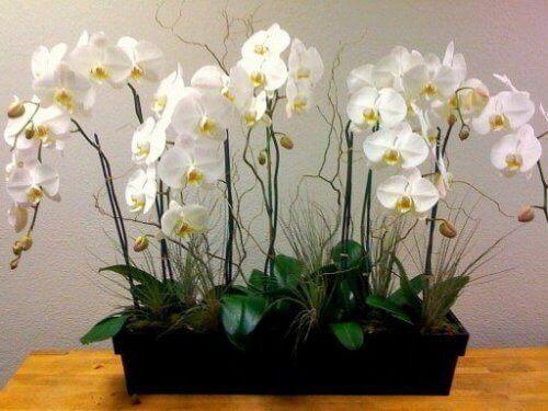 Orkideer passer perfekt på soverommet