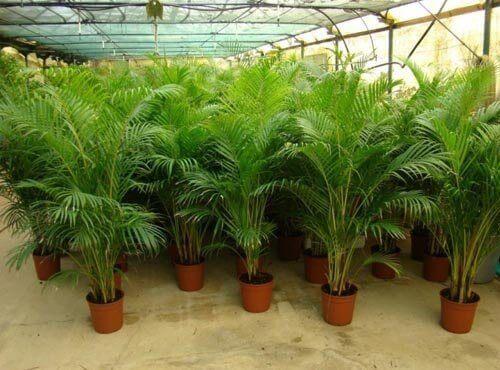 Arkeapalme er en dekorativ plante