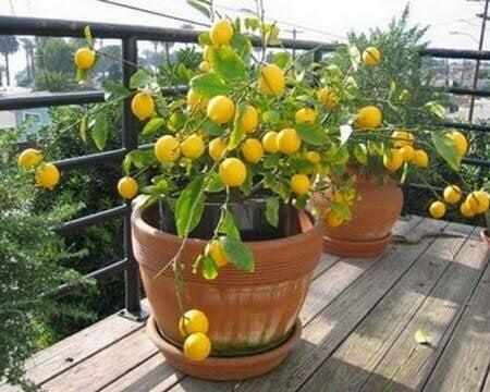 4 frukttrær du kan plante innendørs