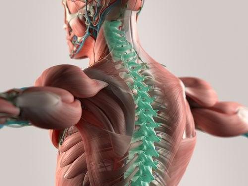 Nye studier viser at mikrofibre kan bidra til å rekonstruere ryggraden