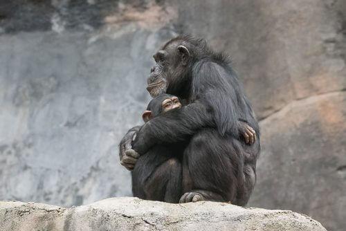Klem - sjimpanser