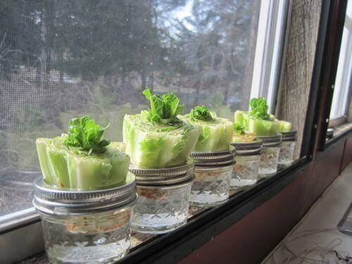 Få grønnsaker til å vokse igjen: Salat