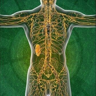Lymfesystemet: 4 interessante fakta som du vil like å vite