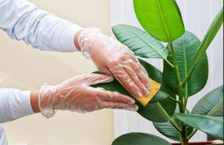Lær hvordan du kan rengjøre bladene på inneplanter