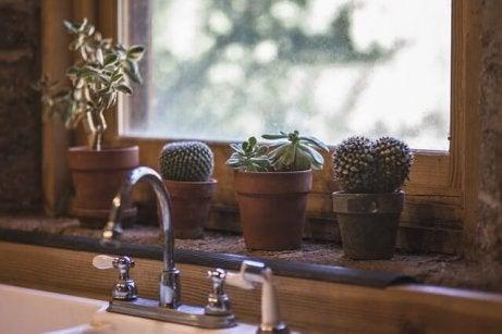 Kaktuser i kjøkkenvindu