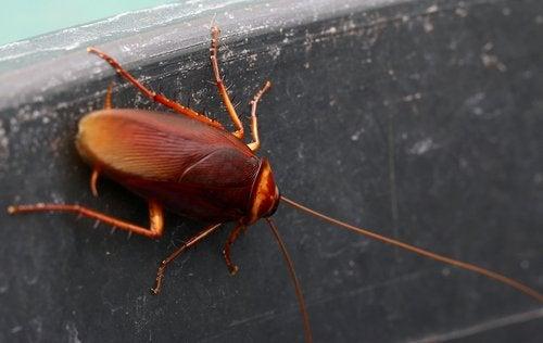 Kakerlakker i hus