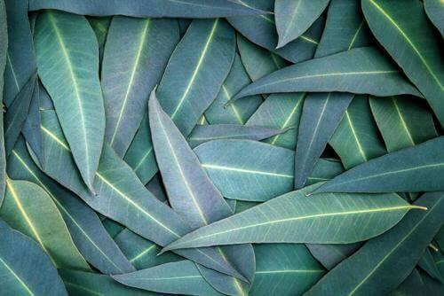 5 eukalyptus-behandlinger mot respirasjonsproblemer