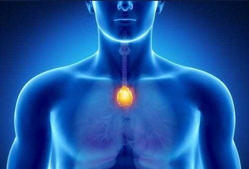 Thymuskjertelen: en moderator av immunforsvaret