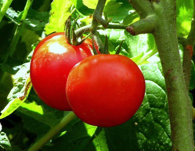 tomat mot alvorlig forstoppelse