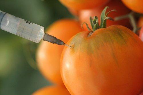 Det kan være kreftfremkallende komponenter i tomat som er dyrket med GMO.