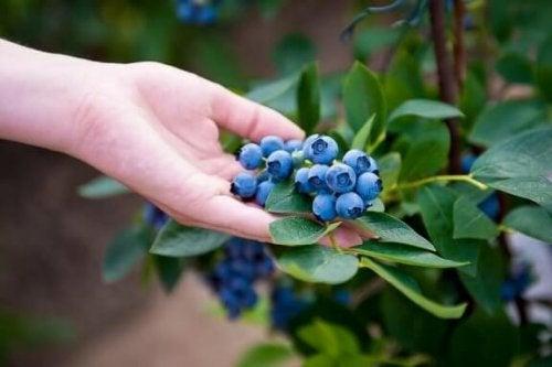 Lær hvordan du kan dyrke blåbær hjemme