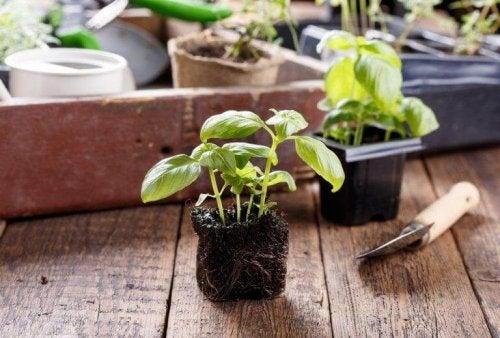 Planter i hjemmet, prøv en krydderplante.
