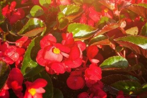 Fem vakre typer blomster til balkongen.