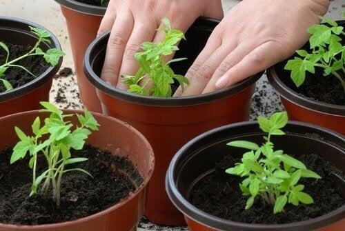 Prosessen med å dyrke dine egne tomatplanter.