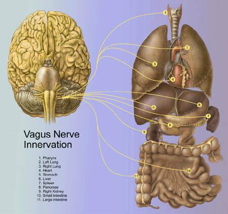 hjernestruktur