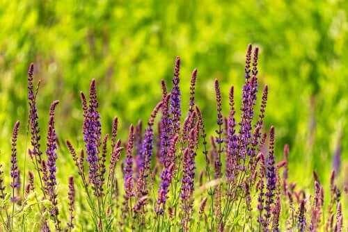 Salvia divinorum kan skape sinnsforvirring.