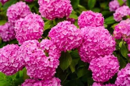 Farlige planter: Hortensia.