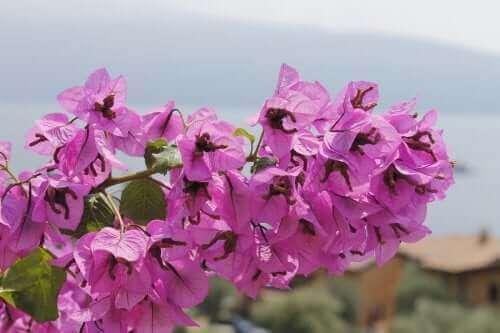 Farlige planter: Trinitaria.
