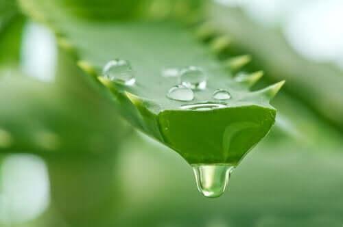 Aloe vera for kontaktdermatitt.