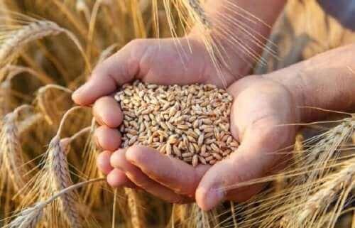 hender med korn til rug- og speltbrød