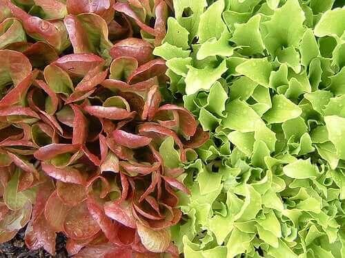 Salatvarianter og hvordan man kan dyrke dem