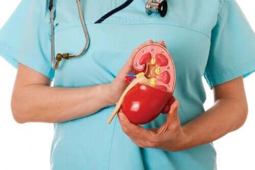 En lege som holder en nyre i plastikk.