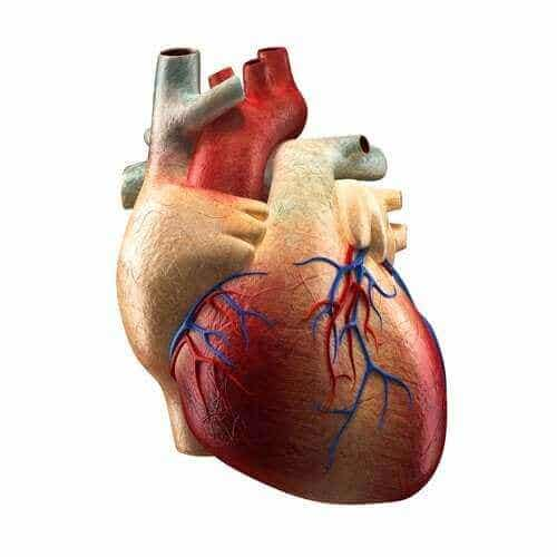 Delene av hjertet og deres funksjoner
