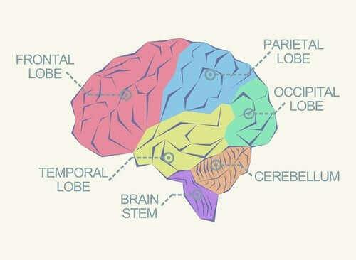 Hva er de forskjellige lappene i hjernen?