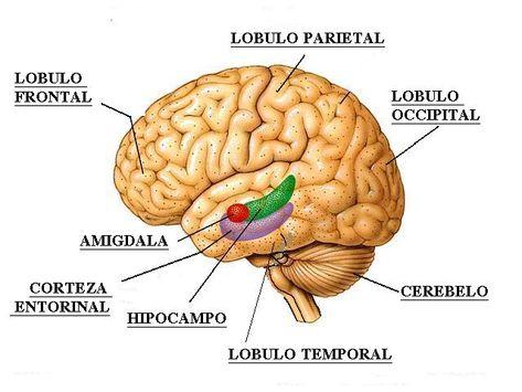 Plasseringen til lappene i hjernen