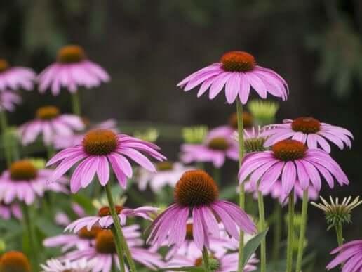 Echinacea er bra for å styrke immunforsvaret ditt