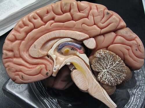En modell av hjernens indre
