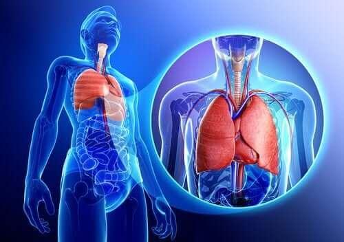 Illustrasjon av lungene.
