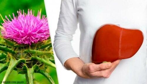 Melketistel: En plante med utrolige fordeler