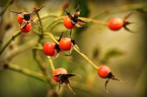 Nyper som henger på en busk.