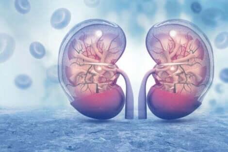 Blå grafikk som viser gjennomsiktige nyrer ved siden av hverandre.